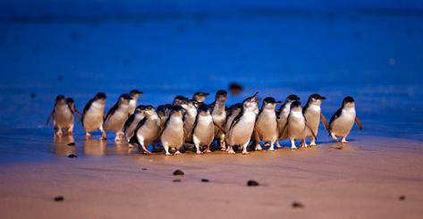 Phillip Island's World Famous Penguine Parade